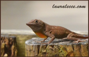 Brown anole in Jamaica