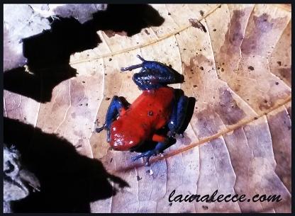 Blue jeans poison dart frog