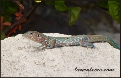 Lizard with blue spots