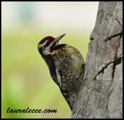 Woodpecker in Belize