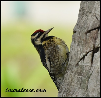 Woodpecker in Belize