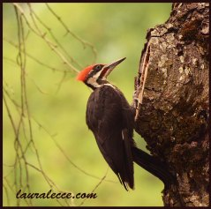 Woodpecker with a radical hairdo - Photograph by Laura Lecce