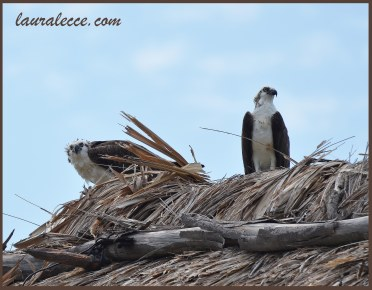 A formidable pair of ospreys