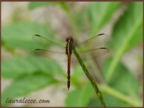 The dragonfly that stood still