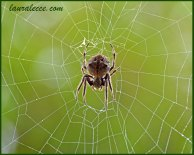 Debbie the Garden Orb Weaving Spider